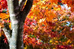 Ландшафт осени запачкал дерево клена в парке, сезон осени, и цвета ветви дерева клена яркие с оранжевым красным цветом зеленеют к Стоковые Изображения RF
