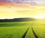 Ландшафт осени с зеленым полем пшеницы стоковое фото rf
