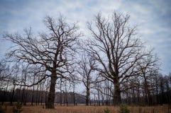 Ландшафт осени с 2 столетними дубами Стоковые Фотографии RF