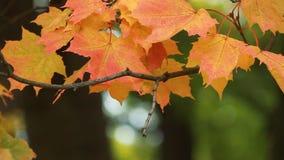 Ландшафт осени - яркие желтые кленовые листы дрожат в ветре сток-видео