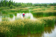 Ландшафт перепада Меконга с въетнамской весельной лодкой на Nang - типом женщины поля дерева спешкы, южного Вьетнама Стоковая Фотография