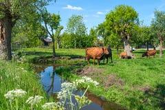 Ландшафт польдера с коровой, быком и calfs близко к Роттердаму, Нидерланд стоковая фотография