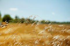 ландшафт поля зрея сельская пшеница Стоковое Изображение RF