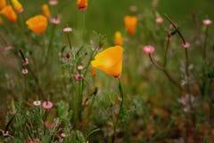 Ландшафт поля мака полевого цветка Калифорнии Стоковое Фото