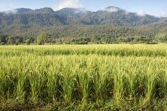 Ландшафт поля риса в mai chiang. Стоковые Изображения RF