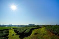 Ландшафт предпосылки голубого неба плантации чая Стоковые Изображения RF