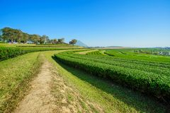Ландшафт предпосылки голубого неба плантации чая Стоковое Фото