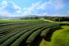 Ландшафт предпосылки голубого неба плантации чая Стоковая Фотография