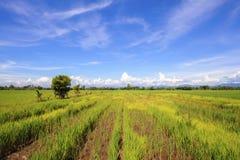 Ландшафт предпосылки поля риса небесно-голубой в лете Стоковые Фото