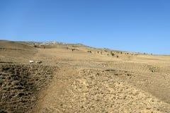 Ландшафт при коровы пася на горных склонах Стоковые Фотографии RF