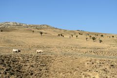 Ландшафт при коровы пася на горных склонах Стоковые Изображения