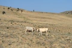 Ландшафт при коровы пася на горных склонах Стоковое Изображение RF