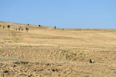 Ландшафт при коровы пася на горных склонах Стоковая Фотография RF