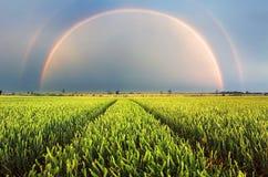 Ландшафт радуги сельский с пшеничным полем на заходе солнца стоковое фото