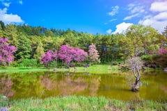 Ландшафт розового цветка вишневого цвета или цветка Сакуры с озером на проекте Khun Wang королевском в Чиангмае, Таиланде Стоковое Изображение RF