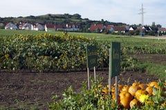 ландшафт сельский Немец перевода к английскому языку; Орнаментальные тыквы, тыквы стоковое фото rf