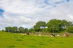 Ландшафт скотин пася на острове Talgje стоковые изображения rf
