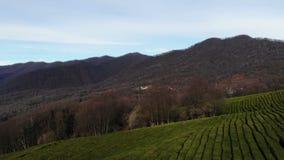 Ландшафт съемки трутня воздушный красивый на плантации чая в осени сток-видео