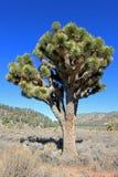 Ландшафт с деревьями Иешуа, национальный парк дерева Иешуа, США Стоковое Изображение