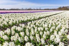 Ландшафт с зацветая голландскими цветками гиацинта Стоковая Фотография RF