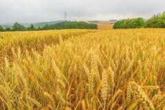 Ландшафт с зрелым полем и горизонтом зерна Стоковые Изображения