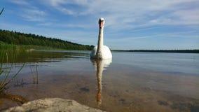 Ландшафт с лебедем и отражением его в озере Стоковые Фотографии RF