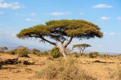 Ландшафт с никто дерево в Африке стоковые изображения rf