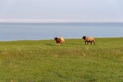 Ландшафт с овцами морем Стоковые Фото