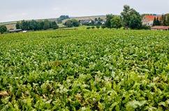 Ландшафт с полем сахарной свеклы Стоковая Фотография