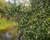 Ландшафт с рекой леса и вишневым деревом птицы в цветении на солнечный праздник Первого Мая Стоковое Изображение RF