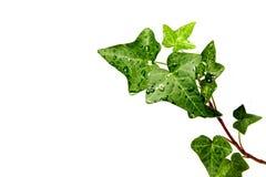 ландшафт травы hedera dewdrops стоковое изображение