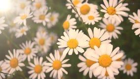 Ландшафт цветков маргариток стоковые фотографии rf