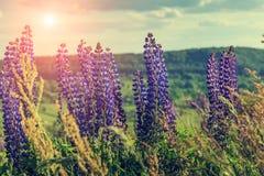 ландшафт чудесный Величественный ландшафт горы с зацветать lupine Стоковая Фотография RF