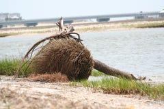 ландшафт driftwood и упаденного дерева на побережье Чарлстона Южной Каролины Стоковое Фото