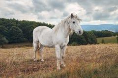 Ландшафт overcast осени с зеленым лесом, желтым полем и белой лошадью стоковое изображение