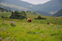 Ландшафт Tatra гор с зеленым лесом, голубыми облаками и лугом с коровой Стоковое фото RF