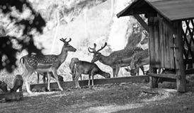 Лани и mouflons в черно-белом Стоковое Фото