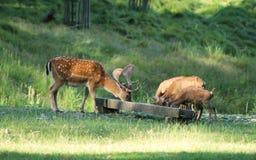 Лани и mouflons Стоковые Фото