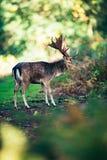 Лани buck dama dama на пути в лесе Стоковое Фото