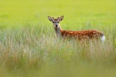 Лани, dama Dama, в лесе осени, Dyrehave, Дания Сцена живой природы от природы, Европы Олени в траве лета Животное стоковые изображения rf