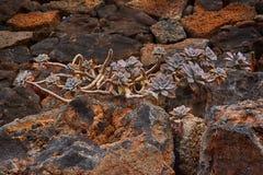 Лансароте, Jardin de Кактус, кактус Стоковые Фото
