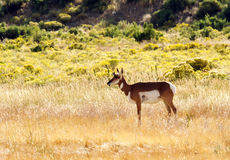 Лань антилопы Pronghorn Стоковые Фото