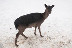 Лань Брайна в зиме Стоковая Фотография