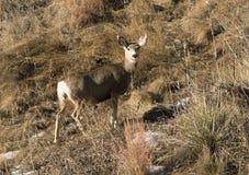 Лань оленей осла идя вверх по травянистому горному склону стоковое фото