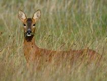 Лань оленей косуль в длинной траве Англии Стоковая Фотография RF