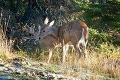 Лань оленей Whitetail защищая ее пыжика стоковые изображения rf