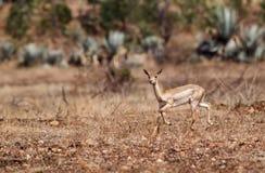 лань черного самеца оленя Стоковые Фото