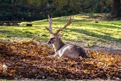 Лань, dama Dama млекопитающее жевания жвачки стоковая фотография rf