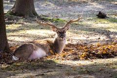 Лань, dama Dama млекопитающее жевания жвачки стоковое фото rf