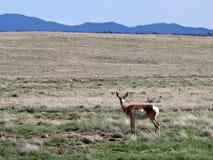 Лань Pronghorn в гористых местностях долины Prescott Стоковое Изображение RF